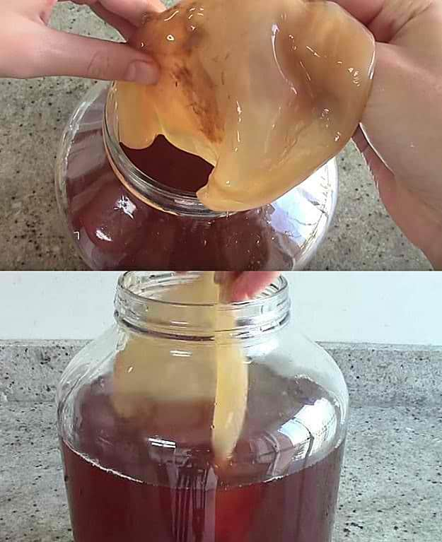 Brew Scoby For Kombucha Tea | How To Make Scoby For Kombucha Tea At Home