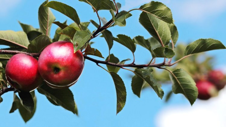 red apple orchard-bible-pb-feature